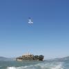 La mouette d'Alcatraz